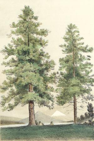 majestic-pine-ii