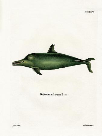 malayan-dolphin