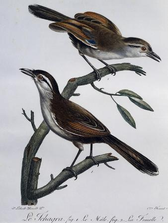 male-and-female-of-black-crowned-tchagra-tchagra-senegalus