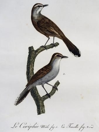 male-and-female-of-karoo-scrub-robin-cercotrichas-coryphoeus