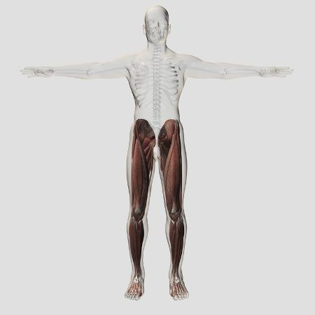 male-muscle-anatomy-of-the-human-legs-anterior-view