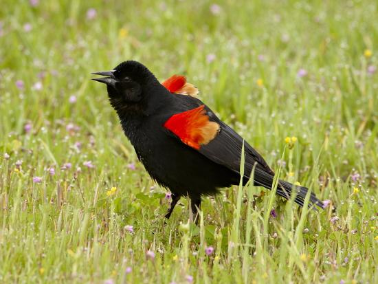 male-red-winged-blackbird-agelaius-phoeniceus-displaying-san-jacinto-wildlife-area-california