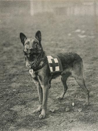 malinois-belgian-shepherd-dog-trained-for-work-as-a-french-red-cross-dog