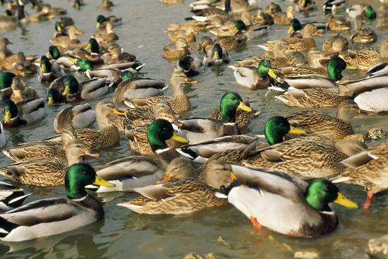 mallard-duck-flock-on-water