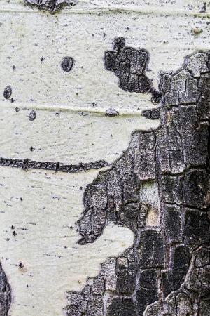 mallorie-ostrowitz-a-macro-shot-of-aspen-bark-on-an-aspen-tree