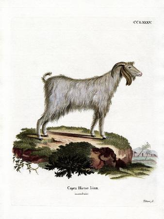 mamber-goat