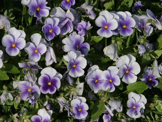 many-colorful-little-violets-blooming