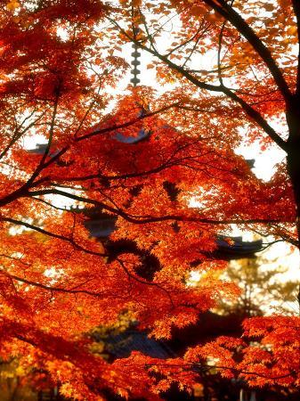 maple-leaves-and-shinnyo-do-temple