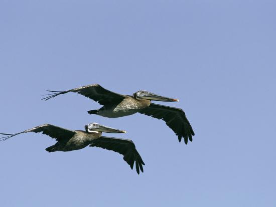 marc-moritsch-pair-of-brown-pelicans-in-flight
