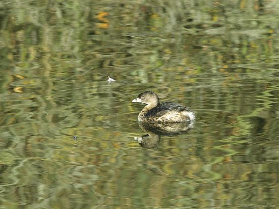 marc-moritsch-pied-billed-grebe-swimming-on-the-surface-of-calm-water