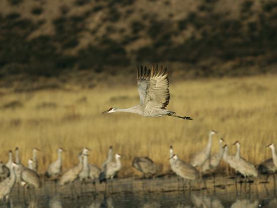 marc-moritsch-sandhill-crane-flying-past-others-standing-around-water