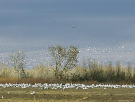 marc-moritsch-snow-geese-in-flight-and-resting-on-the-ground