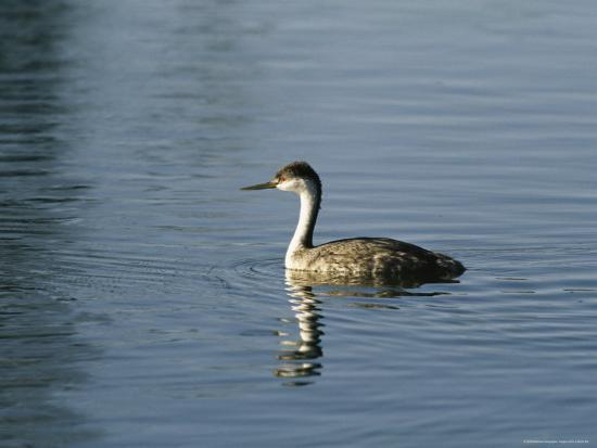 marc-moritsch-western-grebe-swimming-on-the-surface-of-calm-water