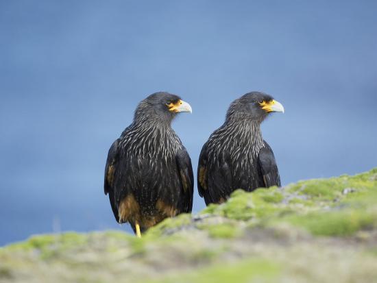 marco-simoni-a-pair-of-striated-caracara-sea-lion-island-falkland-islands-south-atlantic