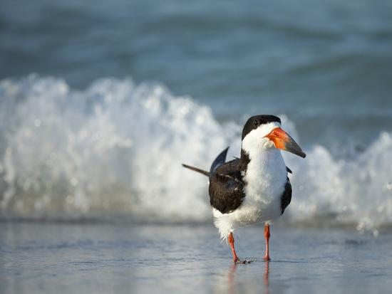 maresa-pryor-black-skimmer-bathing-along-shoreline-gulf-of-mexico-florida