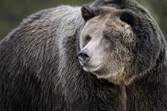 maresa-pryor-brown-bear-grizzly-ursus-arctos-west-yellowstone-montana