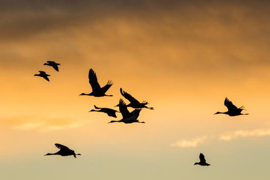 maresa-pryor-cranes-and-geese-flying-bosque-del-apache-national-wildlife-refuge-new-mexico