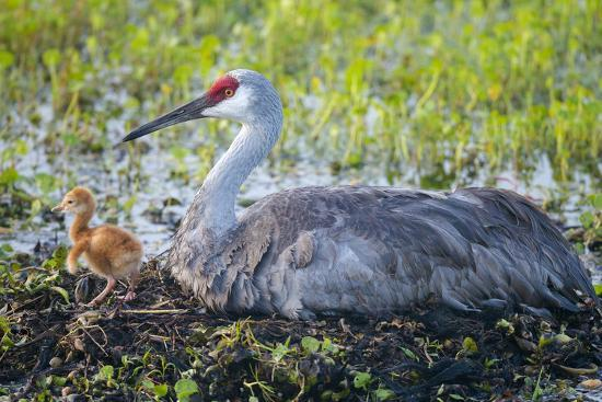 maresa-pryor-just-hatched-sandhill-crane-on-nest-with-first-colt-florida
