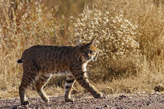 maresa-pryor-lynx-rufus-baileyi-bosque-del-apache-national-wildlife-refuge-new-mexico