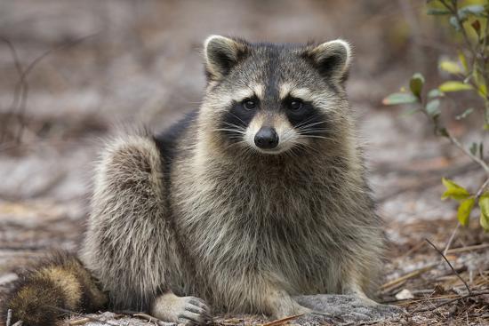 maresa-pryor-raccoon-procyon-lotor-florida-usa
