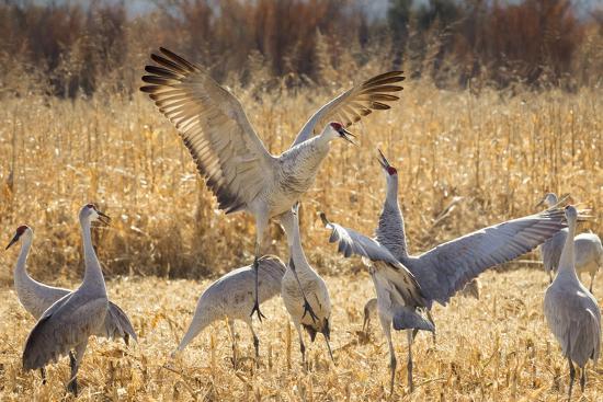 maresa-pryor-sandhill-cranes-in-the-corn-fields-bosque-del-apache-national-wildlife-refuge