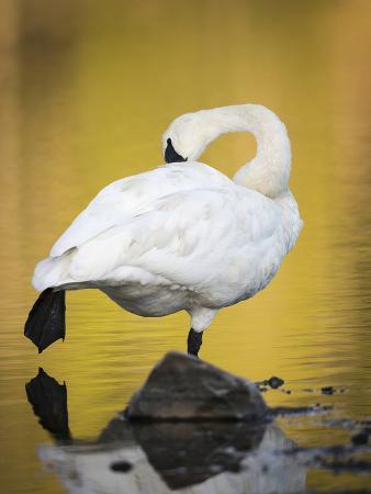 maresa-pryor-trumpeter-swan-preening-yellowstone-national-park-wyoming