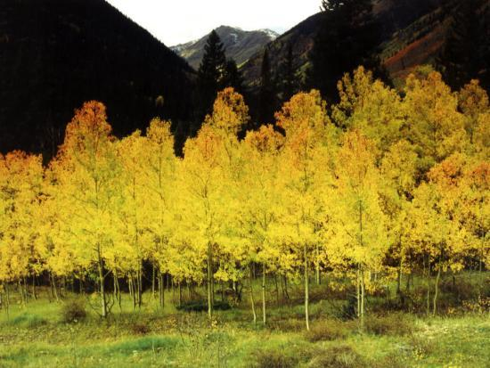 margaret-l-jackson-brilliant-golden-aspen-trees-in-rocky-mountains-near-silverton-southwestern-colorado-usa