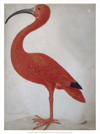 maria-merian-scarlet-ibis-with-an-egg-1699-1700
