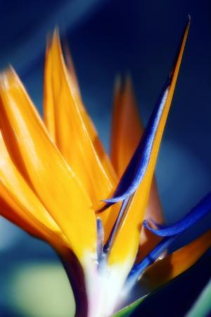 maria-mosolova-bird-of-paradise-strelitzia-reginae