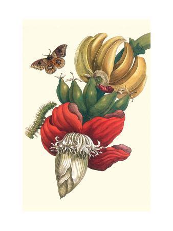 maria-sibylla-merian-banana-tree-and-moths