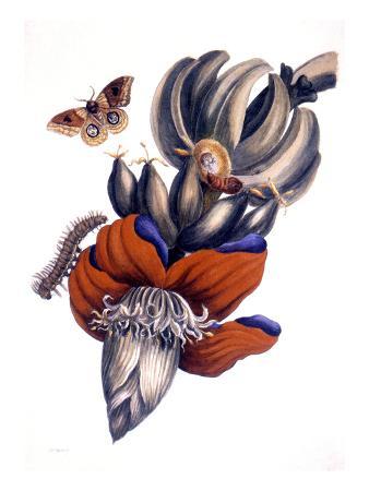 maria-sibylla-merian-bananas-musa-paradisiaca