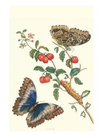 maria-sibylla-merian-barbados-cherry-tree-with-a-moth
