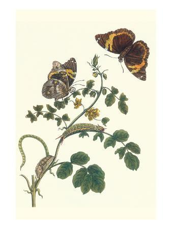 maria-sibylla-merian-coffee-with-split-banded-owlet-butterfly