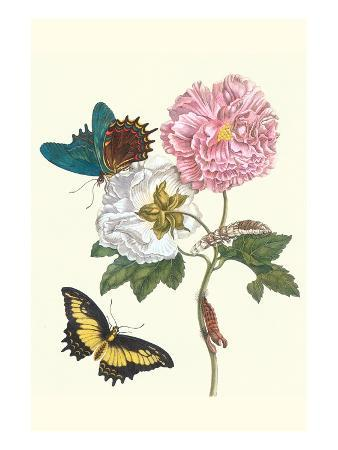 maria-sibylla-merian-cotton-rose-mallow-with-a-queen-swallowtail