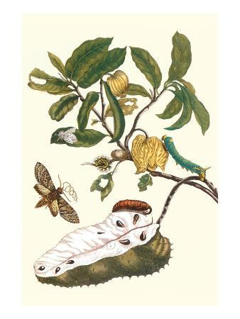 maria-sibylla-merian-custard-apple-and-flower-moth