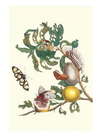 maria-sibylla-merian-fruiting-guava-and-stinging-caterpillar