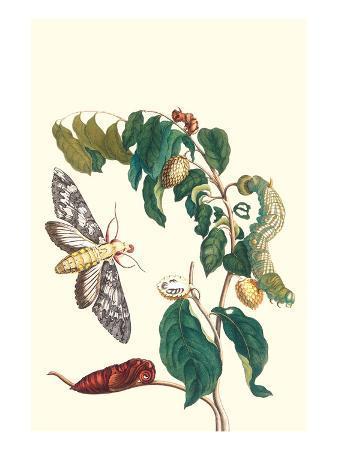 maria-sibylla-merian-hawkmoth-on-a-sugar-apple