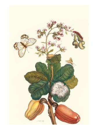 maria-sibylla-merian-moth-on-cashew-apple