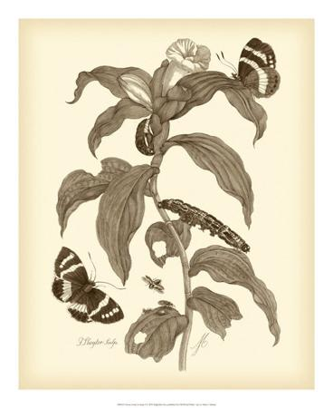 maria-sibylla-merian-nature-study-in-sepia-i