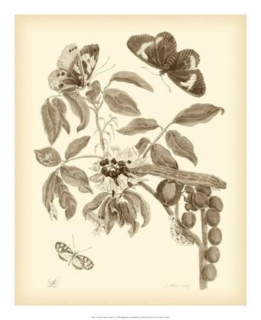 maria-sibylla-merian-nature-study-in-sepia-ii