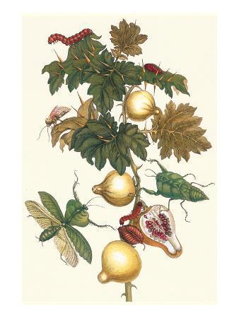 maria-sibylla-merian-nipple-fruit-with-a-leaf-mantus