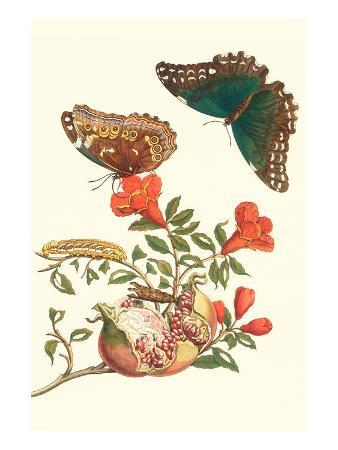 maria-sibylla-merian-pomegranate-and-butterflies
