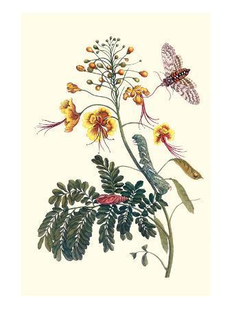 maria-sibylla-merian-pride-of-barbados-with-a-tobacco-hornworm
