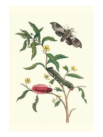 maria-sibylla-merian-primrose-willow-or-water-purslane-with-a-banded-sphinx