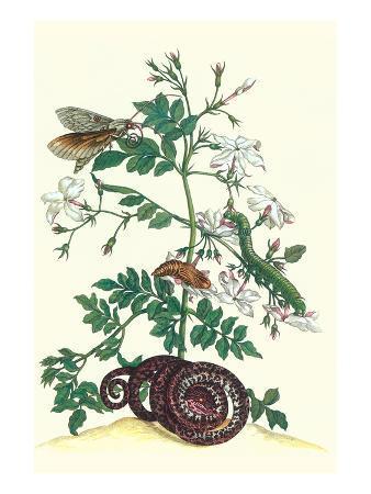 maria-sibylla-merian-royal-jasmine-with-an-amazon-tree-boa-and-an-ello-sphinx-moth