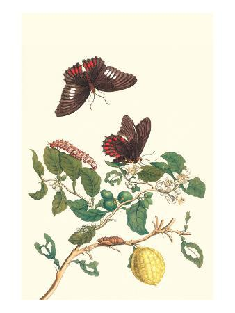 maria-sibylla-merian-swallowtail-on-a-mexican-lime-tree