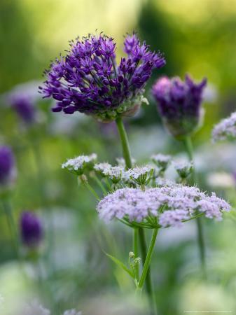 mark-bolton-chearophyllum-hirsutum-roseum-allium-purple-sensation