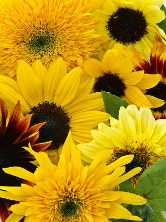 mark-bolton-helianthus-mixed-cut-flower