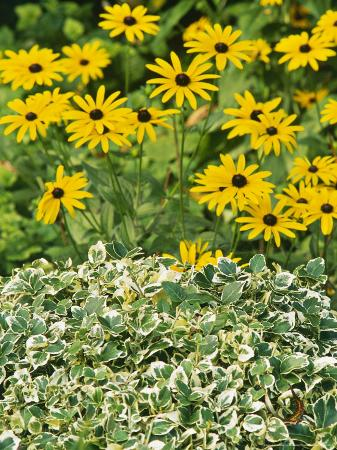 mark-bolton-summer-partner-euonymus-rudbeckia-fulgidia-var-deamii-september