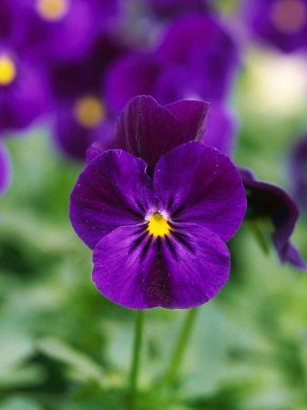 mark-bolton-viola-cornuta-violet-flare-horned-violet-evergreen-perennial